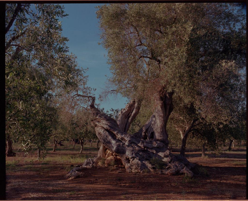olive trees, Italy.