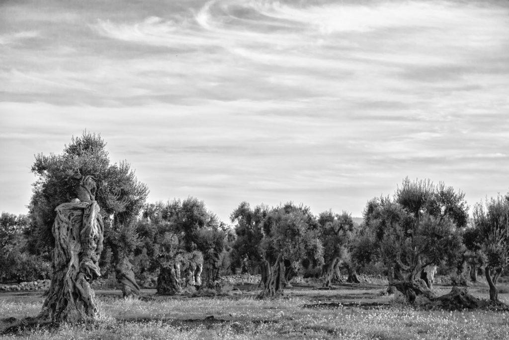 olive trees, Puglia, ostuni, Kodak,film, landscapes