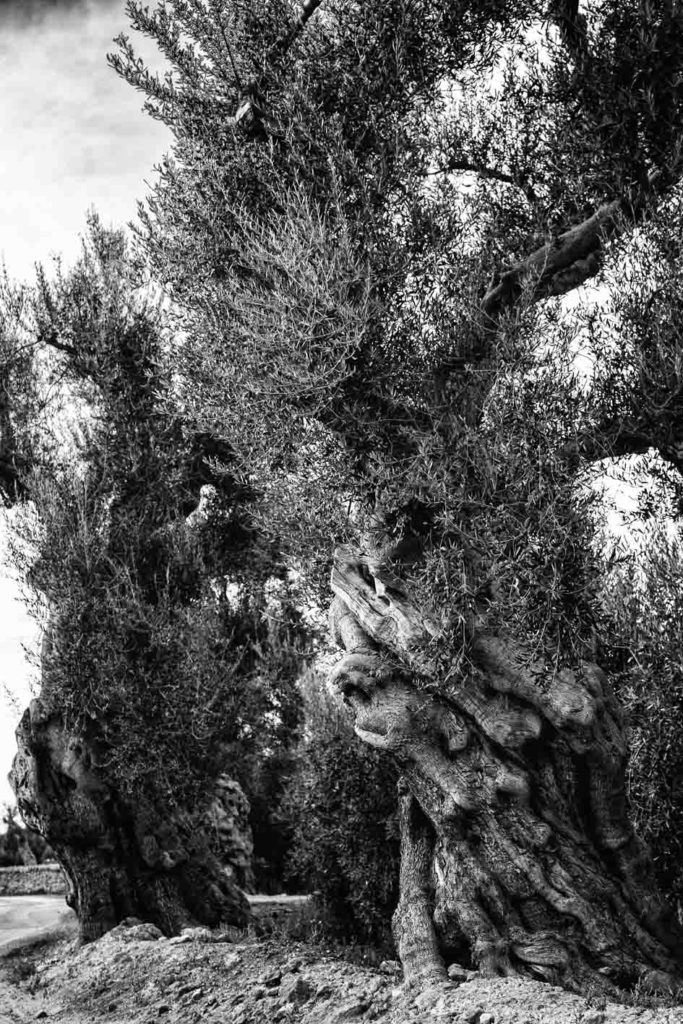 olive trees, Puglia, ostuni, Kodak,film